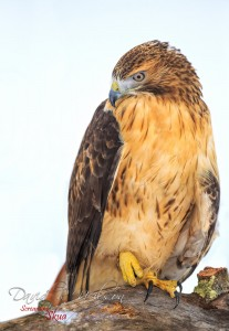 Carson - Redtailed Hawk