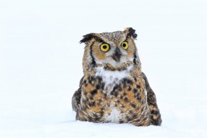 Theo - Great Horned Owl