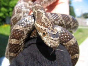 Emory - Great Plains Rat Snake