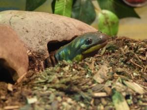 Scuba - Tiger Salamander