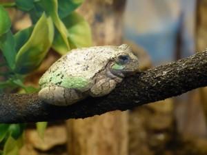 Barkley - Gray Treefrog