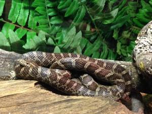 "Great Plains Rat Snake, ""Emory"""